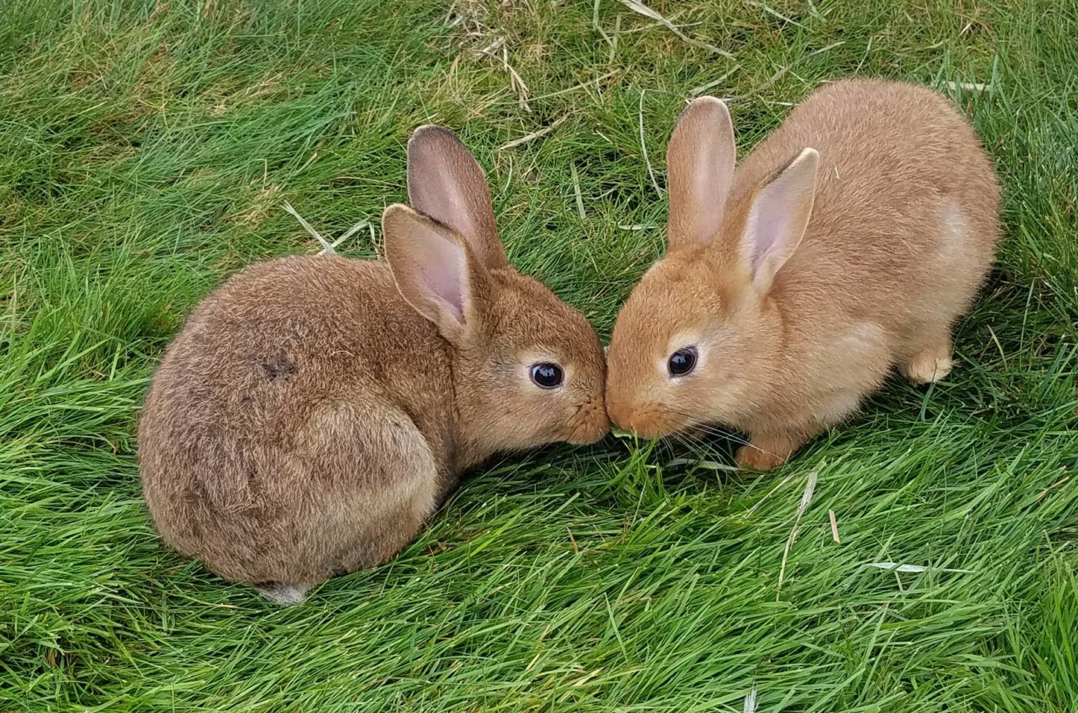 2 bunnies kissing on the grass